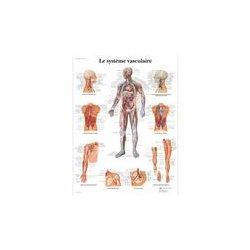 Vascular system anatomical chart