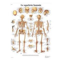Charte Anatomique Le Squelette Humain